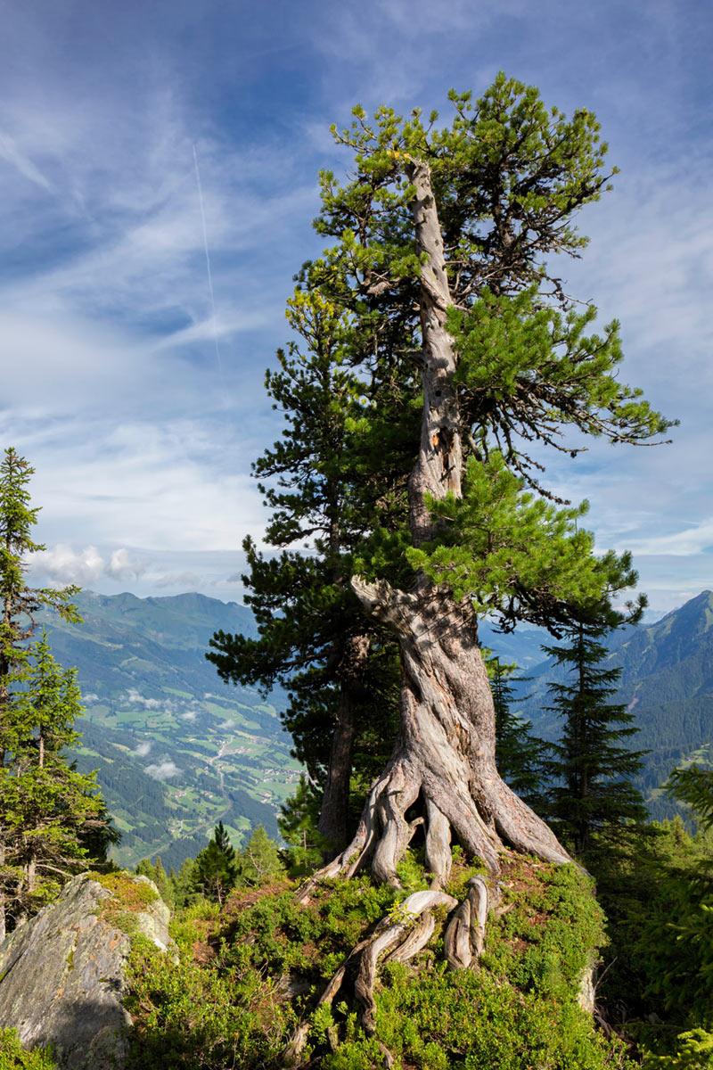 alter Zirbenbaum am Graukogel